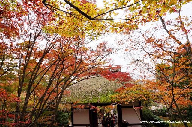 日本楓葉52