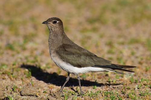 botswana blackwingedpratincole glareolanordmanni mogobanedam