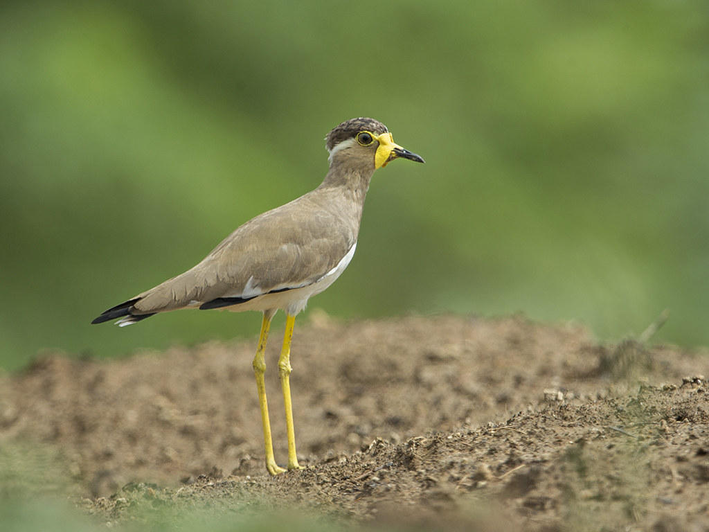 Yellow-wattled Lapwing  Sri Lanka