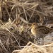 Wilson's Snipe Hunting Worms in a Marsh by Adam Turow
