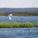 Great Egret (Ardea Alba) by southernhobbyist