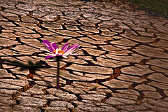 flower, soil, drought, disaster,