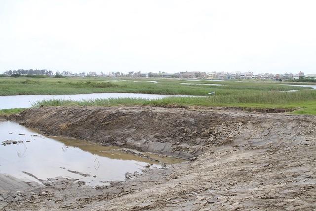 茄萣濕地黑面琵鷺夜棲濕地,遭養工處施工加蓋土堤。鄭和泰提供