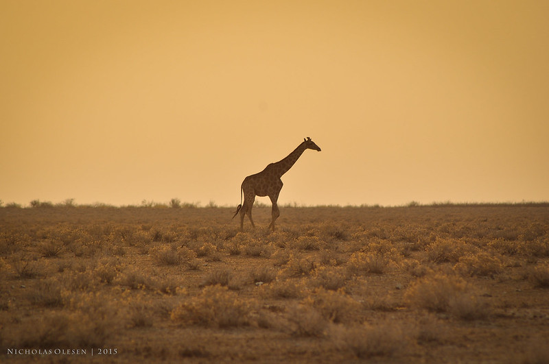 Etosha National Park - Giraffe at Sunset