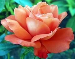 Roses 2015.