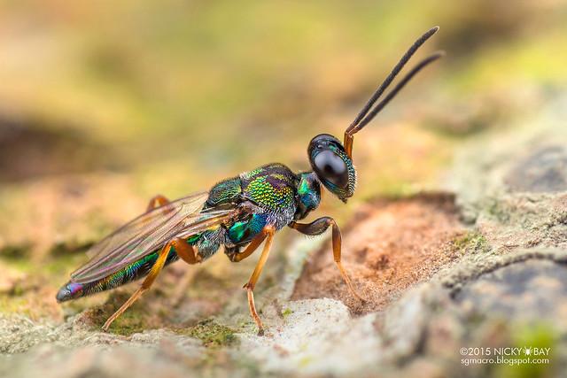 Eupelmid wasp (Eupelmidae) - DSC_5373