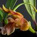 Dendrobium brunneum VN 2013.3.499 (6) by JardinBotanique_Nancy