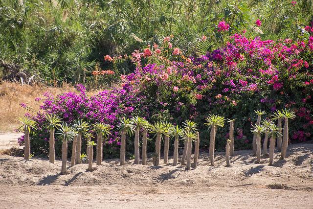 bougainvillea & palms