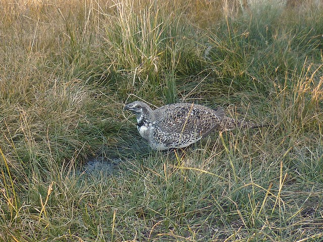 greater sage grouse male