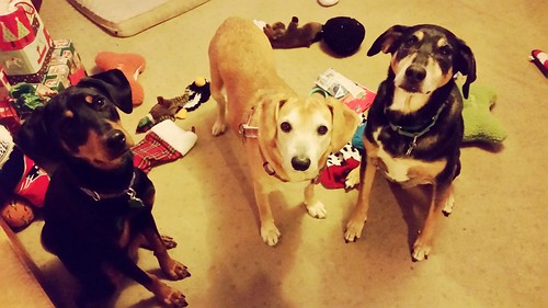3 happy dogs on Christmas after opening gifts 2015 - Lapdog Creations