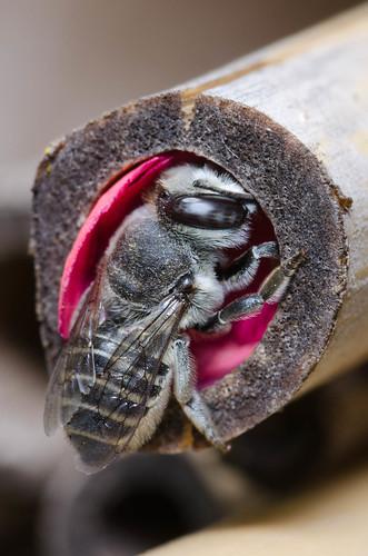 Megachile finishing its nest