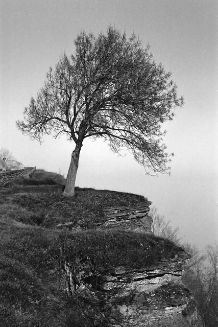 Solitary tree 16 x 24