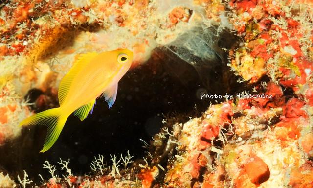 スミレナガハナダイの幼魚