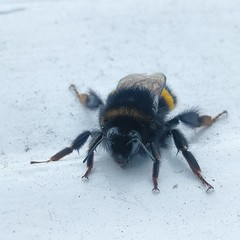 Saturday morning visitor. #bee #bees #insect #wildlife