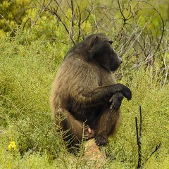 Relaxed baboon in Jonkershoek Nature Reserve, Western Cape, South Africa   #baboon #wildlifeplanet #mysouthafrica #jonkershoek #westerncape #cape