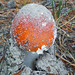 Small photo of Amanita muscaria