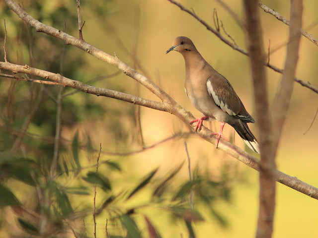 White-winged Dove 2-20151017