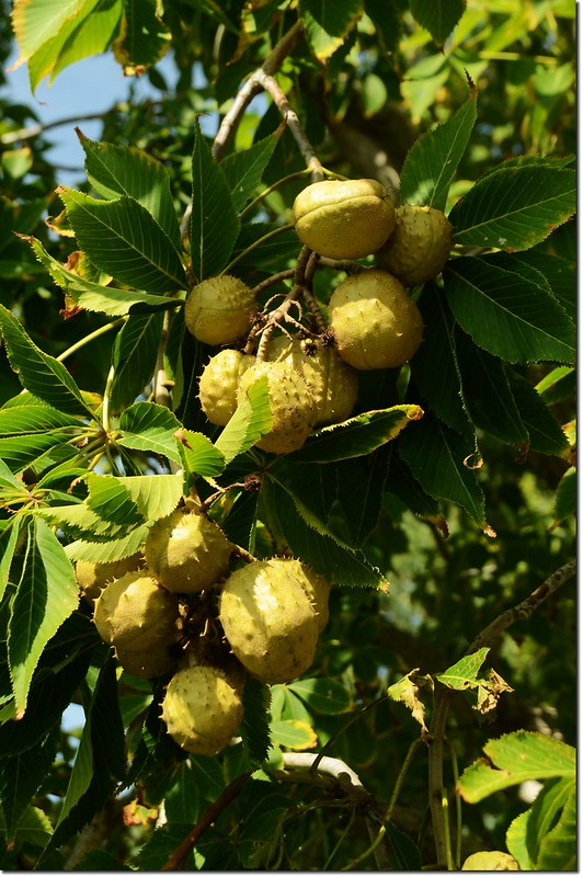 Horse Chestnut(七葉樹)~果 1