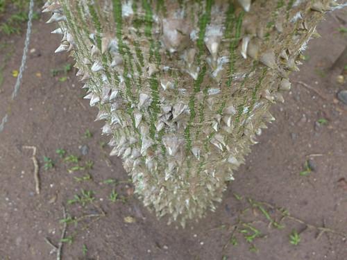 Albero spinoso a Copan