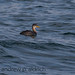RED-NECKED GREBE _Q6A5862 copy by Andrew Aldrich