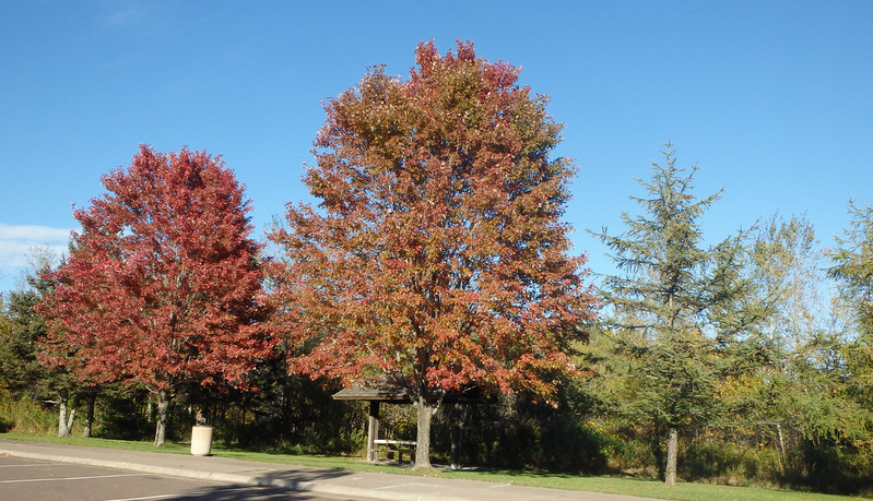 red maples at the Knife River rest stop