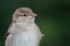 Juvenile sparrow by Kumagoro314