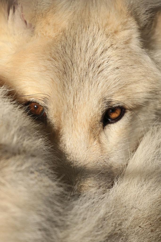 hudsonbay wolf Hoenderdaell JN6A7042