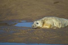 HolderGrey Seal pup