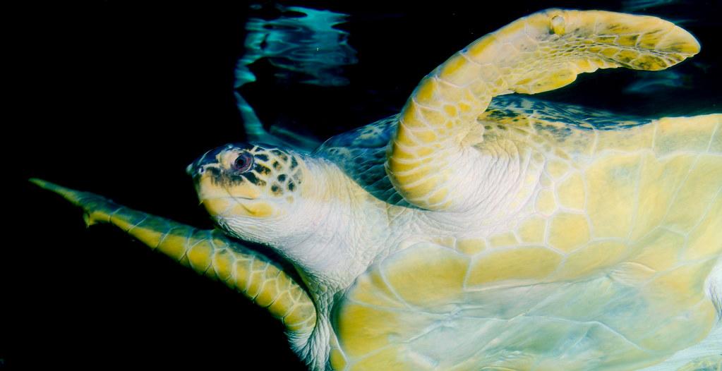Green Sea Turtle (Chelonia mydas)_28