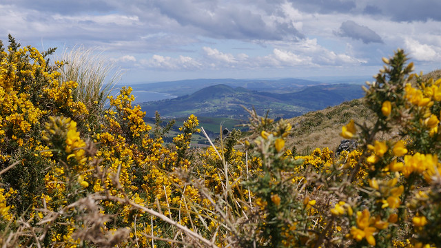 Gorse on the hill.JPG