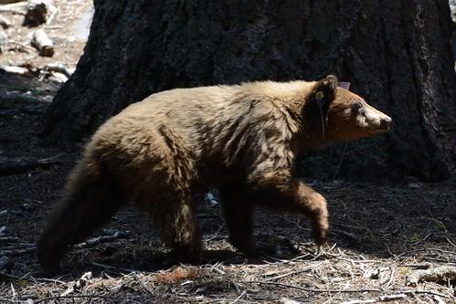Bear #A75