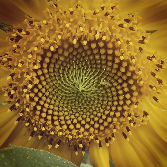 Sunflower #sunflowers #flowers #patiogardens