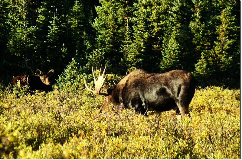 Moose at Brainard Lake (11)