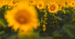 Your beautiful imperfections empower you to shine in life's overcrowded fields.   #labrisaphotography #grinterfarms #holysunflowers #sunflowers #imperfections