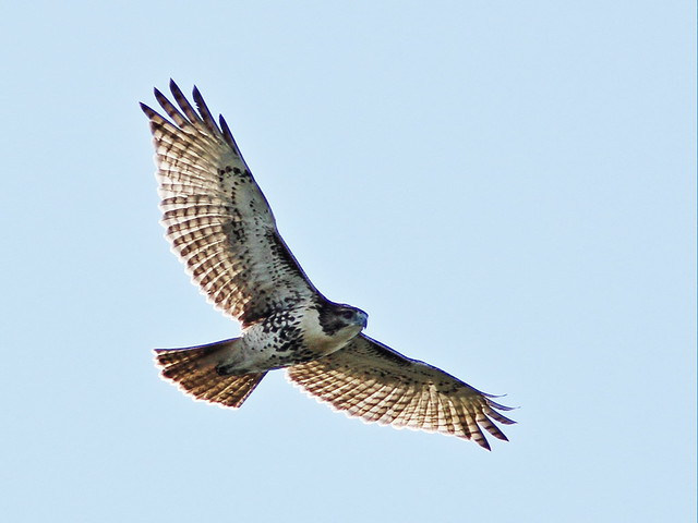 Red-tailed Hawk 20150921
