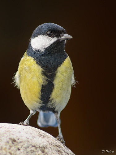 Parus major (Tot estiu)