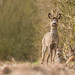 Roe Deer buck by Wouter's Wildlife Photography