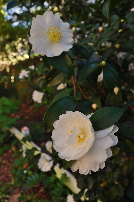 Camellia sasanqua 'Autumn Rocket' (2)