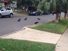 Turkey Vulture Buffet on E Lullwood