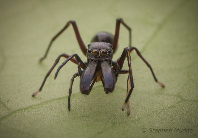Ant-mimic jumping spider (Myrmarachne sp.)