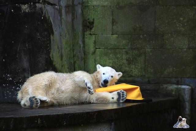 Eisbär Fiete im Zoo Rostock 13.12.2015  156