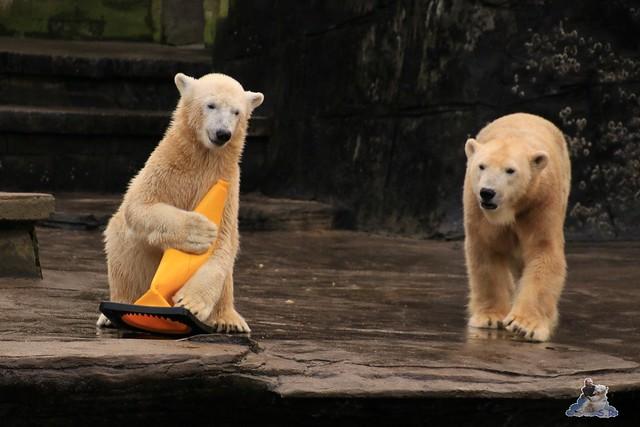 Eisbär Fiete im Zoo Rostock 13.12.2015  31