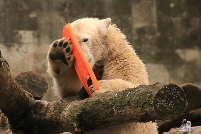 Eisbär Fiete im Zoo Rostock 05.12.2015  127