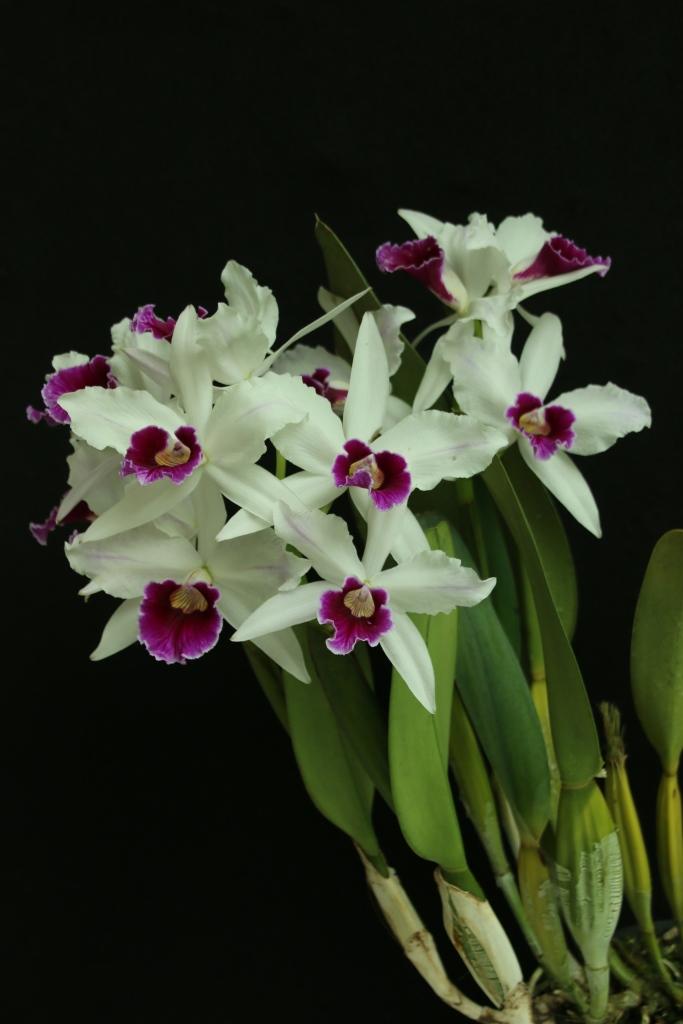 Laelia purpurata tipo - cultivo Daniel Chambart