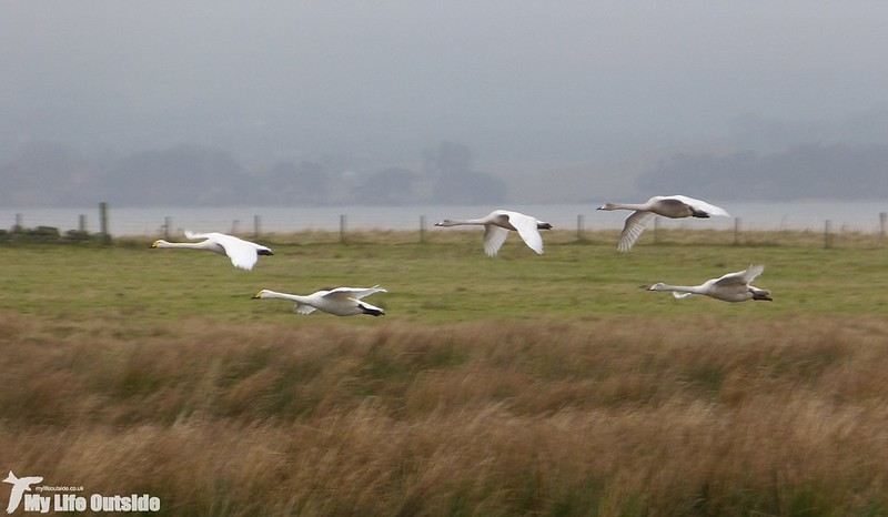 P1160660 - Whooper Swans, Loch Leven