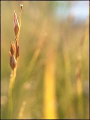 Golden Morning-Color