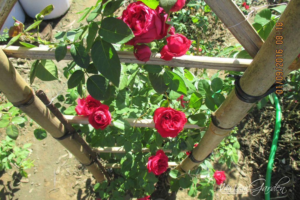 hoa hong leo red eden rose 1111 (4)-vuonhongvanloan.com