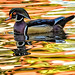 Early Morning Wood Duck by Jeff Clow