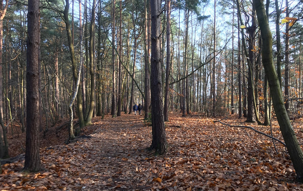 Winter woods Oxshott to Ashtead walk