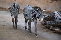 Grevy's Zebras at the Los Angeles Zoo